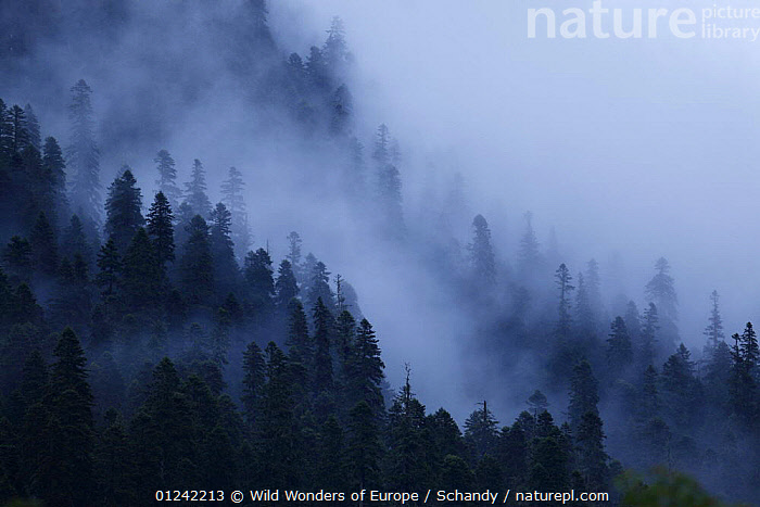 Mist drifting over a Nordmann fir (Abies nordmanniana) forest, near Dombay, Teberdinsky biosphere reserve, Caucasus, Russia, July 2008  ,  CONIFERS,EUROPE,FORESTS,GYMNOSPERMS,LANDSCAPES,MIST,PINACEAE,PINES,PLANTS,RESERVE,RUSSIA,TOM SCHANDY,TREES,WWE  ,  Wild Wonders of Europe / Schandy