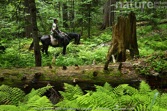 Park ranger, Ramazan Khubiev, on horseback in an old Nordmann fir (Abies nordmanniana) forest, Arkhyz valley, western section of the Teberdinsky Biosphere reserve, Caucasus, Russia,  July 2008 (Model released)  ,  CONIFERS,EUROPE,FERNS,FORESTS,GYMNOSPERMS,HORSES,PEOPLE,PINACEAE,PINES,PLANTS,RESERVE,RUSSIA,TOM SCHANDY,TREES,WWE  ,  Wild Wonders of Europe / Schandy