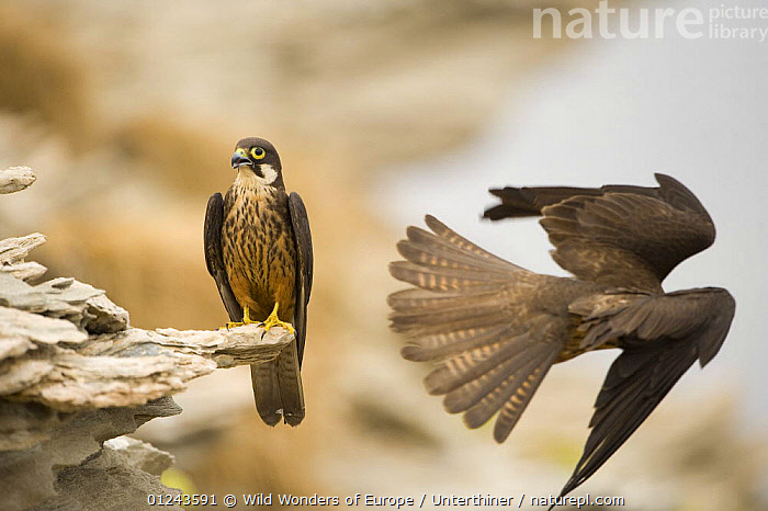 Eleonora's falcon (Falco eleonorae) perched on rock with another flying, Andros, Greece, September 2008, BIRDS,BIRDS OF PREY,EUROPE,FALCONS,FLYING,GREECE,MALE FEMALE PAIR,ROCKS,STEFANO UNTERTHINER,TWO,VERTEBRATES,WINGS,WWE, Wild Wonders of Europe / Unterthiner
