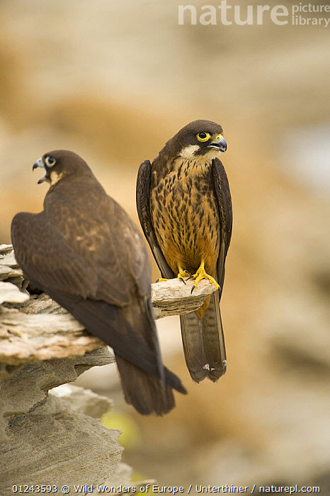 Eleonora's falcon (Falco eleonorae) pair on rock ledge, Andros, Greece, September 2008, BEHAVIOUR,BIRDS,BIRDS OF PREY,EUROPE,FALCONS,GREECE,MALE FEMALE PAIR,ROCKS,STEFANO UNTERTHINER,VERTEBRATES,VERTICAL,VOCALISATION,WWE, Wild Wonders of Europe / Unterthiner