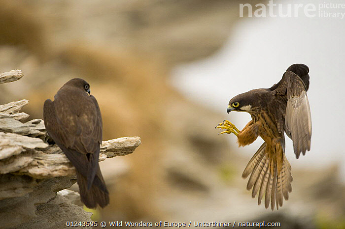 Eleonora's falcon (Falco eleonorae) pair, one on rock, the other landing, Andros, Greece, September 2008, BEHAVIOUR,BIRDS,BIRDS OF PREY,EUROPE,FALCONS,FLYING,GREECE,LANDING,MALE FEMALE PAIR,ROCKS,STEFANO UNTERTHINER,VERTEBRATES,WINGS,WWE, Wild Wonders of Europe / Unterthiner