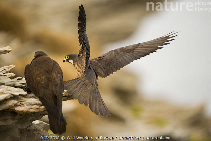 Eleonora's falcon (Falco eleonorae) landing on rock with other perched, Andros, Greece, September 2008, BIRDS,BIRDS OF PREY,EUROPE,FALCONS,FLYING,GREECE,LANDING,MALE FEMALE PAIR,STEFANO UNTERTHINER,VERTEBRATES,WWE, Wild Wonders of Europe / Unterthiner