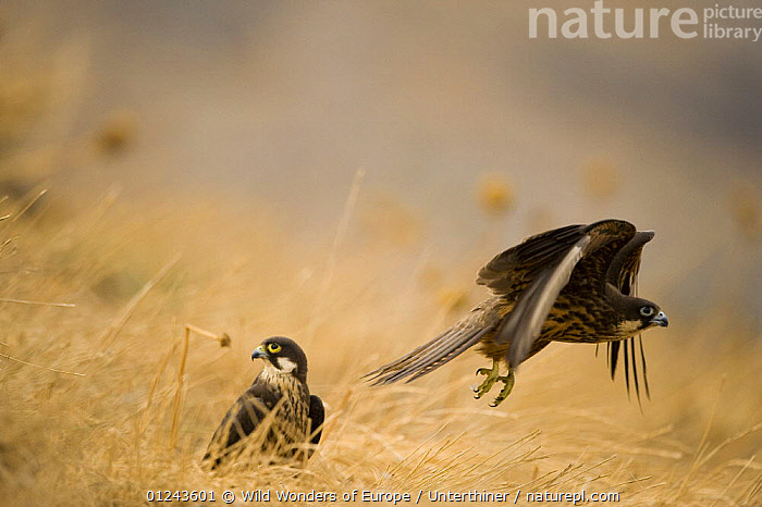 Eleonora's falcon (Falco eleonorae) taking off with other on ground, Andros, Greece, September 2008, BIRDS,BIRDS OF PREY,EUROPE,FALCONS,FLYING,GREECE,MALE FEMALE PAIR,STEFANO UNTERTHINER,TAKE OFF,TWO,VERTEBRATES,WINGS,WWE, Wild Wonders of Europe / Unterthiner