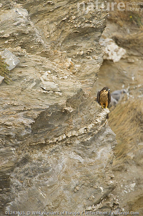 Eleonora's falcon (Falco eleonorae) on rock ledge, Andros, Greece, September 2008, BIRDS,BIRDS OF PREY,CLIFFS,EUROPE,FALCONS,GREECE,STEFANO UNTERTHINER,VERTEBRATES,VERTICAL,WWE,Geology, Wild Wonders of Europe / Unterthiner