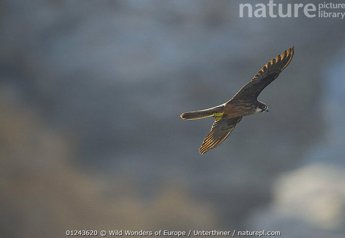 Eleonora's falcon (Falco eleonorae) in flight, Andros, Greece, September 2008, BIRDS,BIRDS OF PREY,EUROPE,FALCONS,FLYING,GREECE,STEFANO UNTERTHINER,VERTEBRATES,WWE, Wild Wonders of Europe / Unterthiner