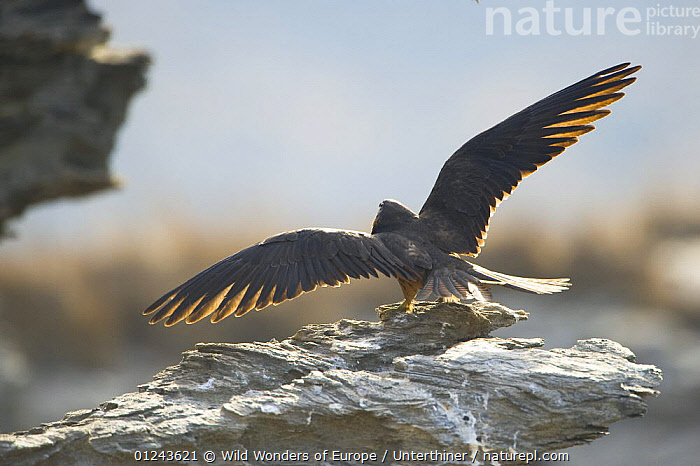 Rear view of an Eleonora's falcon (Falco eleonorae) stretching wings on rock, Andros, Greece, September 2008, BEHAVIOUR,BIRDS,BIRDS OF PREY,EUROPE,FALCONS,GREECE,ROCKS,STEFANO UNTERTHINER,STRETCHING,VERTEBRATES,WINGS,WWE, Wild Wonders of Europe / Unterthiner