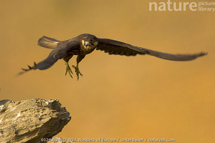 Eleonora's falcon (Falco eleonorae) in flight, Andros, Greece, September 2008, BIRDS,BIRDS OF PREY,EUROPE,FALCONS,FLYING,GREECE,ROCKS,STEFANO UNTERTHINER,VERTEBRATES,WWE, Wild Wonders of Europe / Unterthiner