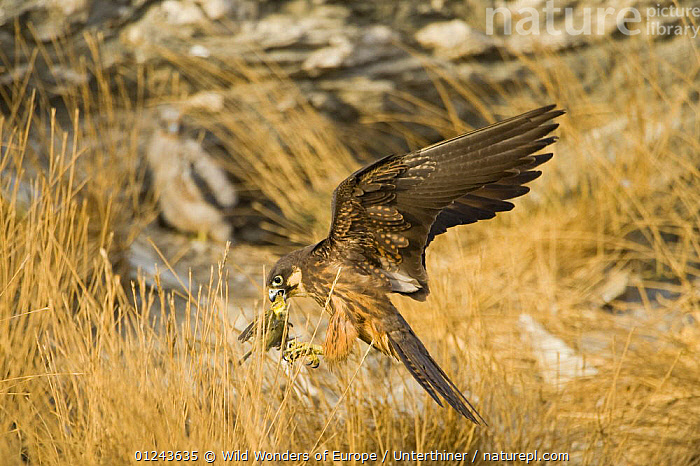 Eleonora's falcon (Falco eleonorae) landing with prey, Andros, Greece, September 2008, BIRDS,BIRDS OF PREY,EUROPE,FALCONS,FEEDING,FLYING,GREECE,LANDING,STEFANO UNTERTHINER,VERTEBRATES,WWE, Wild Wonders of Europe / Unterthiner