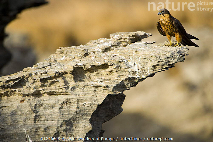 Eleonora's falcon (Falco eleonorae) standing on rock ledge, Andros, Greece, September 2008, BIRDS,BIRDS OF PREY,EUROPE,FALCONS,GREECE,ROCKS,STEFANO UNTERTHINER,VERTEBRATES,WWE, Wild Wonders of Europe / Unterthiner