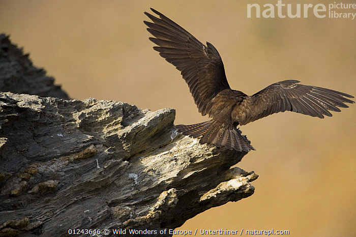 Rear view of an Eleonora's falcon (Falco eleonorae) landing on rock ledge, Andros, Greece, September 2008, BIRDS,BIRDS OF PREY,EUROPE,FALCONS,FLYING,GREECE,LANDING,ROCKS,STEFANO UNTERTHINER,VERTEBRATES,WINGS,WWE, Wild Wonders of Europe / Unterthiner