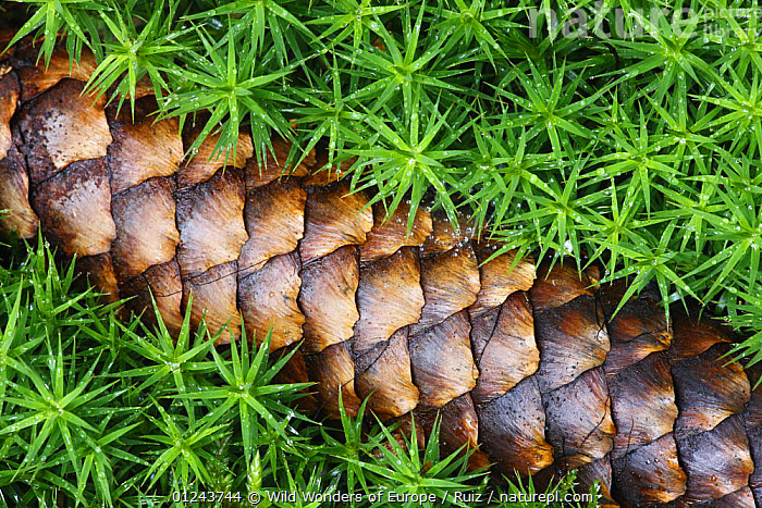 Norway spruce (Picea abies) cone on moss, Brtnicky Hradek, Ceske Svycarsko / Bohemian Switzerland National Park, Czech Republic, September 2008 WWE OUTDOOR EXHIBITION  ,  CLOSE UPS,CONES,CONIFERS,EASTERN EUROPE,EUROPE,GYMNOSPERMS,JOSE B RUIZ,MOSS,NP,OUTDOOR EXHIBITION,PATTERNS,PINACEAE,PINES,PLANTS,RESERVE,SEEDS,WWE,National Park  ,  Wild Wonders of Europe / Ruiz