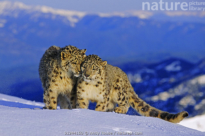 Snow leopard (Panthera uncia) pair in high alpine habitat, captive, USA (non-ex)  ,  BEHAVIOUR,BIG CATS,CARNIVORES,CUTE,ENDANGERED,LEOPARDS,MALE FEMALE PAIR,MAMMALS,SNOW,Catalogue1  ,  Andy Rouse
