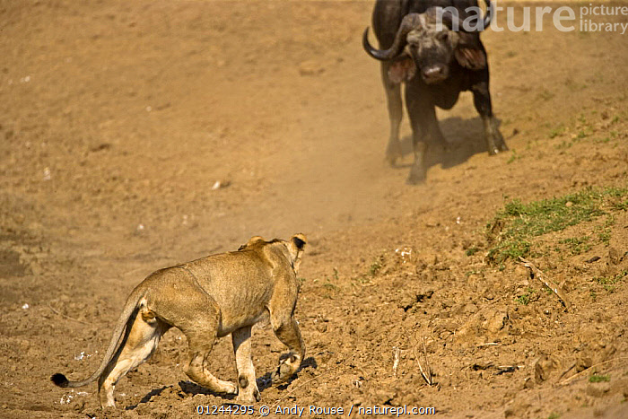 Nature Picture Library - African lion (Panthera leo) hunting