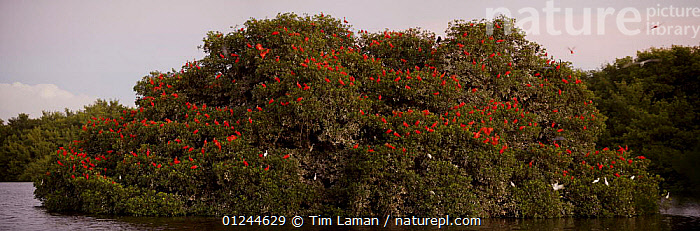 Large flock of Scarlet ibises {Eudocimus ruber} roosting in trees on a small mangrove island, Caroni Swamp, Caroni Bird Sanctuary, Trinidad., BIRDS,CARIBBEAN,COASTS,FLOCKS,GROUPS,IBISES,LANDSCAPES,MANGROVES,MANGROVE SWAMPS,PANORAMIC,RED,VERTEBRATES,West Indies, Tim Laman