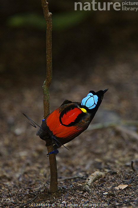 Wilson's Bird of Paradise (Cicinnurus respublica) male in display court, Batanta Island, Papua, Indonesia. Near-threatened., ASIA,BIRDS,BIRDS OF PARADISE,COLOURFUL,COURTSHIP,INDONESIA,MALES,MATING BEHAVIOUR,RED,TROPICAL RAINFOREST,VERTEBRATES,VERTICAL,Reproduction, Tim Laman