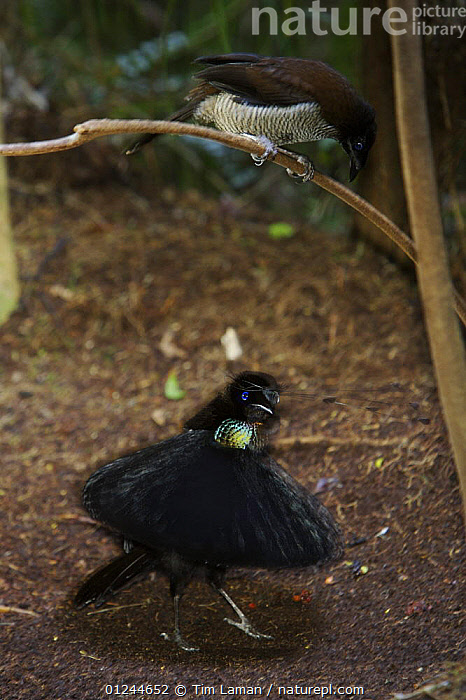 Male Western Parotia (Parotia sefilata) bird of paradise displaying to female at lek display site, Arfak Mountains, Papua, Indonesia., ASIA,BIRDS,BIRDS OF PARADISE,DISPLAY,INDONESIA,MALE FEMALE PAIR,MATING BEHAVIOUR,TROPICAL RAINFOREST,VERTEBRATES,VERTICAL,Communication,Reproduction, Tim Laman