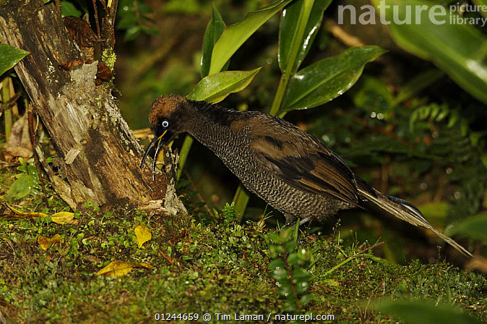 A young male Brown Sicklebill (Epimachus meyeri) bird of paradise, foraging on the ground for insects, Southwestern slopes of Mt. Hagen, Enga Province, Papua New Guinea., ASIA,BEHAVIOUR,BIRDS,BIRDS OF PARADISE,FEEDING,PNG,TROPICAL RAINFOREST,VERTEBRATES, Tim Laman