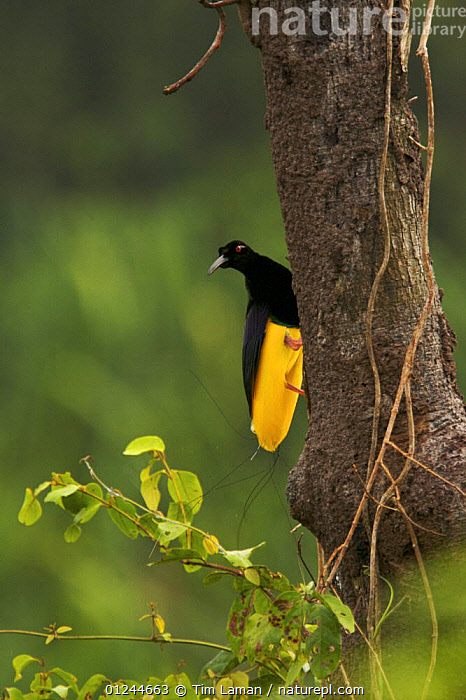 Adult male Twelve-wired Bird of Paradise (Seleucidis melanoleuca) on display pole in swamp forest along the Karawari River, East Sepik Province, Papua New Guinea., ASIA,BIRDS,BIRDS OF PARADISE,MALES,PNG,TROPICAL RAINFOREST,VERTEBRATES,VERTICAL, Tim Laman