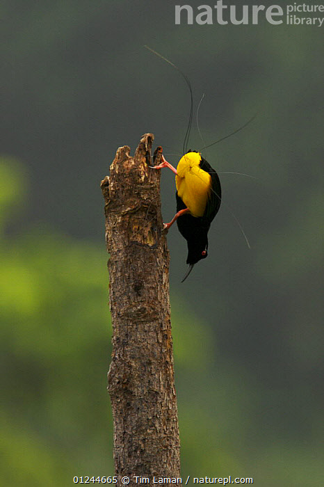 Adult male Twelve-wired Bird of Paradise (Seleucidis melanoleuca) on his display pole in the swamp forest along the Karawari River, East Sepik Province, Papua New Guinea., ASIA,BEHAVIOUR,BIRDS,BIRDS OF PARADISE,COURTSHIP,DISPLAYING,MALES,MATING BEHAVIOUR,PNG,TROPICAL RAINFOREST,VERTEBRATES,VERTICAL,Reproduction, Tim Laman