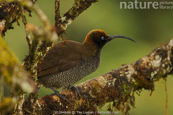 Female Brown Sicklebill Bird of Paradise (Epimachus meyeri) in the vicinity of Mt. Hagen, Enga Province, Papua New Guinea., ASIA,BIRDS,BIRDS OF PARADISE,FEMALES,PNG,TROPICAL RAINFOREST,VERTEBRATES, Tim Laman