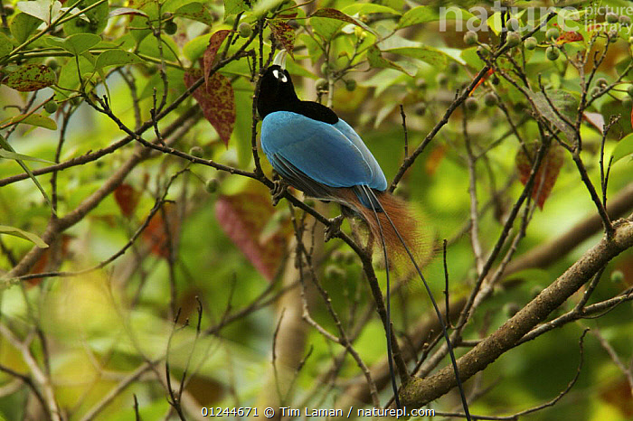 Male Blue Bird of Paradise (Paradisaea rudolphi) foraging for fruits in a fruiting tree crown, Crater Mountain Wildlife Management Area, Eastern Highlands Province, Papua New Guinea. Vulnerable., ASIA,BIRDS,BIRDS OF PARADISE,FEEDING,MALES,PNG,RESERVE,TROPICAL RAINFOREST,VERTEBRATES,VULNERABLE, Tim Laman