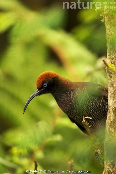 Female Brown Sicklebill (Epimachus meyeri) bird of paradise perched, in the vicinity of Mt. Hagen, Enga Province, Papua New Guinea., ASIA,BIRDS,BIRDS OF PARADISE,FEMALES,PNG,TROPICAL RAINFOREST,VERTEBRATES,VERTICAL, Tim Laman