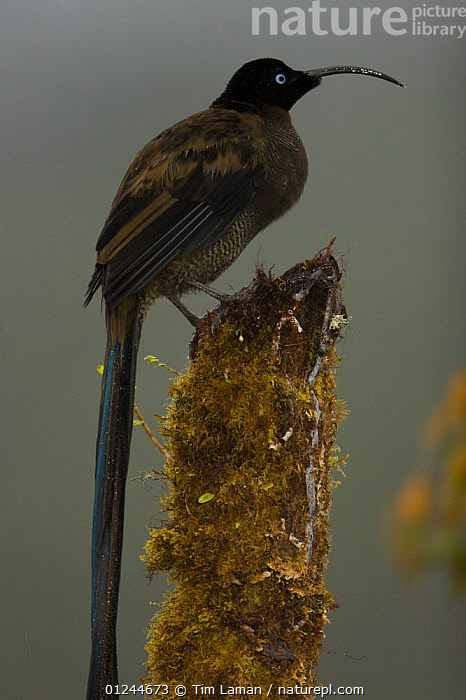 Young male Brown Sicklebill (Epimachus meyeri) bird of paradise perched, in the vicinity of Mt. Hagen, Enga Province, Papua New Guinea., ASIA,BIRDS,BIRDS OF PARADISE,MALES,PNG,TROPICAL RAINFOREST,VERTEBRATES,VERTICAL, Tim Laman