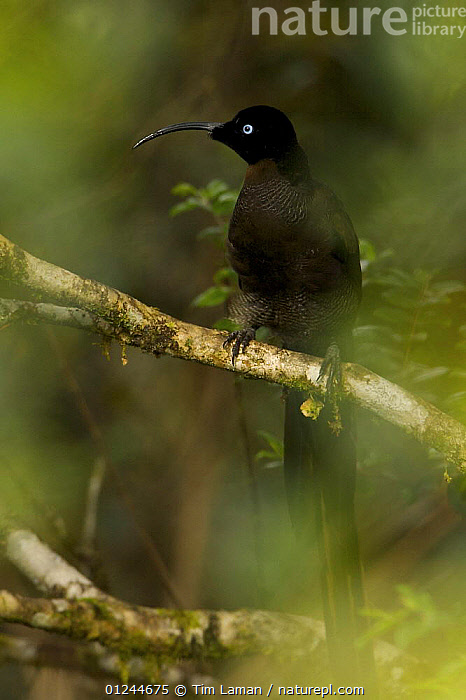 Young, subadult male Brown Sicklebill (Epimachus meyeri) bird of paradise in the vicinity of Mt. Hagen,