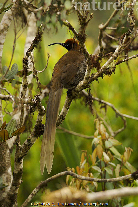 Female Brown Sicklebill (Epimachus meyeri) bird of paradise in the vicinity of Mt. Hagen, Enga Province, Papua New Guinea., ASIA,BIRDS,BIRDS OF PARADISE,FEMALES,PNG,TROPICAL RAINFOREST,VERTEBRATES,VERTICAL, Tim Laman