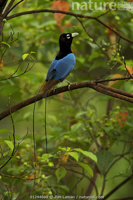 Blue Bird of Paradise (Paradisaea rudolphi) male perched in the vicinity of the Tari Valley, Southern Highlands Province, Papua New Guinea., ASIA,BIRDS,BIRDS OF PARADISE,HABITAT,MALES,PNG,TROPICAL RAINFOREST,VERTEBRATES,VERTICAL,VULNERABLE, Tim Laman