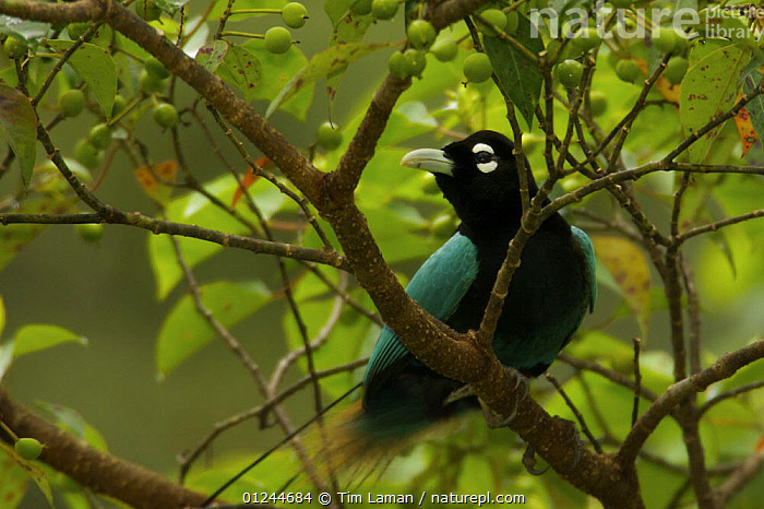 Blue Bird of Paradise (Paradisaea rudolphi) male in rainforest canopy in the vicinity of the Tari Valley, Southern Highlands Province, Papua New Guinea., ASIA,BIRDS,BIRDS OF PARADISE,MALES,PNG,TROPICAL RAINFOREST,VERTEBRATES,VULNERABLE, Tim Laman