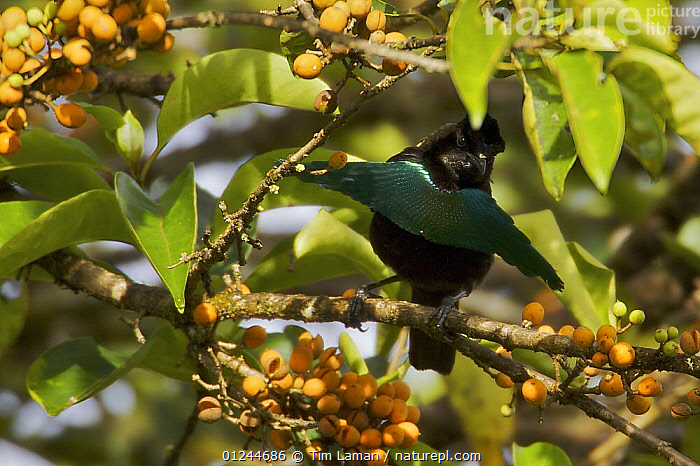 Superb Bird of Paradise (Lophorina superba) male in rainforest canopy in the vicinity of the Tari Valley, Southern Highlands Province, Papua New Guinea., ASIA,BIRDS,BIRDS OF PARADISE,FRUIT,MALES,PNG,TROPICAL RAINFOREST,VERTEBRATES,Plants, Tim Laman