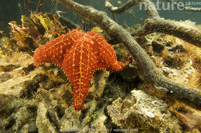 Cushion sea star {Oreaster reticulatus} amongst the submerged roots of Red mangrove trees {Rhizophora mangle} Belize Cays, Tunicate Cove, Belize., CARIBBEAN,CENTRAL AMERICA,ECHINODERMS,INVERTEBRATES,MANGROVES,MANGROVE SWAMPS,MARINE,ORANGE,ROOTS,SEA STARS,TROPICAL,UNDERWATER,West Indies, Tim Laman