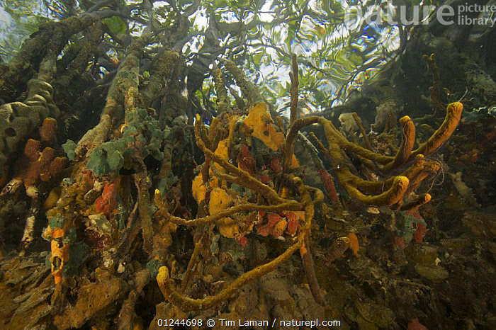 Sponges, tunicates and other invertebrates growing on the roots of Red Mangrove trees {Rhizophora mangle} in the Belize Cays, Tunicate Cove, Belize., CARIBBEAN,CENTRAL AMERICA,INVERTEBRATES,LANDSCAPES,LOW ANGLE SHOT,MANGROVE,MANGROVES,MANGROVE SWAMPS,MARINE,ROOTS,SPONGES,TROPICAL,TUNICATES,UNDERWATER,West Indies, Tim Laman