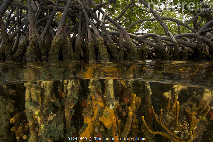 Split level view of sponges, tunicates and other invertebrates growing on the roots of Red Mangrove trees {Rhizophora mangle} in the Belize Cays, Tunicate Cove, Belize., CARIBBEAN,CENTRAL AMERICA,HABITAT,INVERTEBRATES,MANGROVE,MANGROVES,MANGROVE SWAMPS,MARINE,ROOTS,SPLIT LEVEL,SPONGES,TROPICAL,TUNICATES,UNDERWATER,West Indies, Tim Laman
