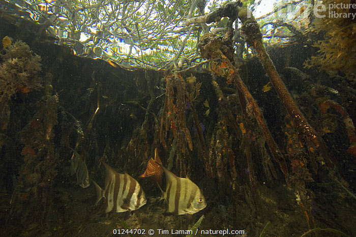 Atlantic spadefish {Chaetodipterus faber} amongst the roots of Red Mangrove trees {Rhizophora mangle} in the Belize Cays, Suna Tunicate Cove, Belize., CARIBBEAN,CENTRAL AMERICA,FISH,HABITAT,MANGROVE,MANGROVES,MANGROVE SWAMPS,MARINE,OSTEICHTHYES,ROOTS,SPADEFISH,TROPICAL,TWO,UNDERWATER,VERTEBRATES,West Indies, Tim Laman