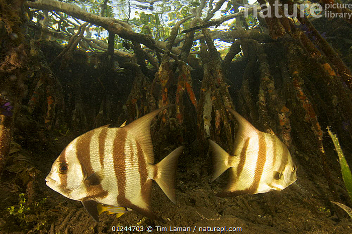Atlantic spadefish {Chaetodipterus faber} amongst the roots of Red Mangrove trees {Rhizophora mangle} in the Belize Cays, Suna Tunicate Cove, Belize., CARIBBEAN,CENTRAL AMERICA,FISH,INVERTEBRATES,MANGROVE,MANGROVES,MANGROVE SWAMPS,MARINE,OSTEICHTHYES,SPADEFISH,TROPICAL,TWO,UNDERWATER,VERTEBRATES,West Indies, Tim Laman