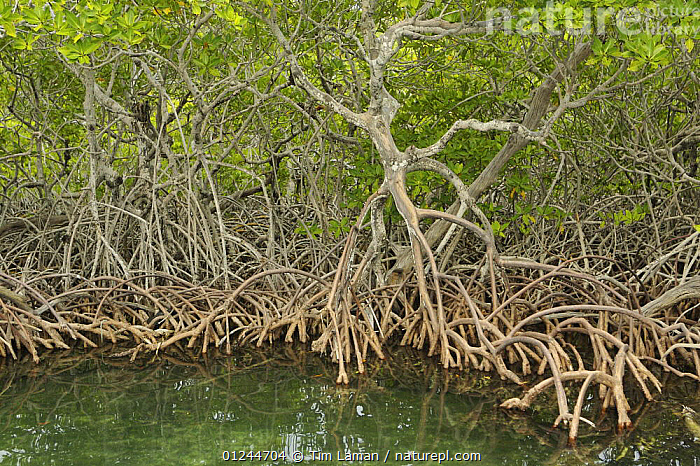 Red Mangrove (Rhizophora mangle) trees with roots exposed, Peter Douglas Cay, Belize., CARIBBEAN,CENTRAL AMERICA,COASTS,DICOTYLEDONS,HABITAT,MANGROVE,MANGROVES,MANGROVE SWAMPS,PLANTS,RHIZOPHORACEAE,ROOTS,West Indies, Tim Laman