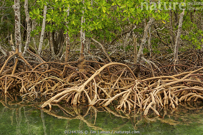 Red Mangrove (Rhizophora mangle) trees with roots exposed, Peter Douglas Cay, Belize., CARIBBEAN,CENTRAL AMERICA,COASTS,DICOTYLEDONS,MANGROVE,MANGROVES,MANGROVE SWAMPS,PLANTS,RHIZOPHORACEAE,ROOTS,West Indies, Tim Laman