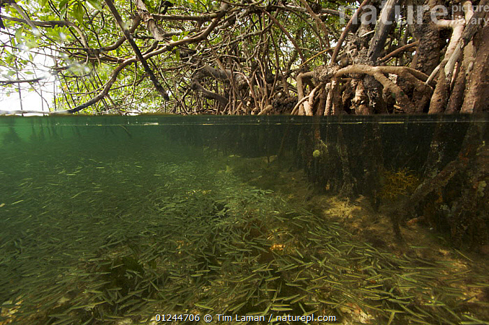Split level of Silversides fish {Atherinidae} schooling among roots of Red Mangrove {Rhizophora mangle} The mangroves provide important shelter from predators for these fish. Wee Wee Cay, Belize., CARIBBEAN,CENTRAL AMERICA,DICOTYLEDONS,FISH,MANGROVE,MANGROVES,MANGROVE SWAMPS,MARINE,PLANTS,RHIZOPHORACEAE,ROOTS,SILVERSIDES,SPLIT LEVEL,TROPICAL,UNDERWATER,West Indies, Tim Laman