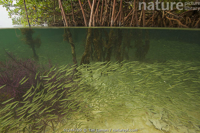 Split level of Silversides fish {Atherinidae} schooling among roots of Red Mangrove {Rhizophora mangle}. The mangroves provide important shelter from predators for these fish. Wee Wee Cay, Belize., CARIBBEAN,CENTRAL AMERICA,FISH,GROUPS,HABITAT,MANGROVE,MANGROVES,MANGROVE SWAMPS,MARINE,OSTEICHTHYES,ROOTS,SHOAL,SILVERSIDES,SPLIT LEVEL,TROPICAL,UNDERWATER,VERTEBRATES,West Indies, Tim Laman