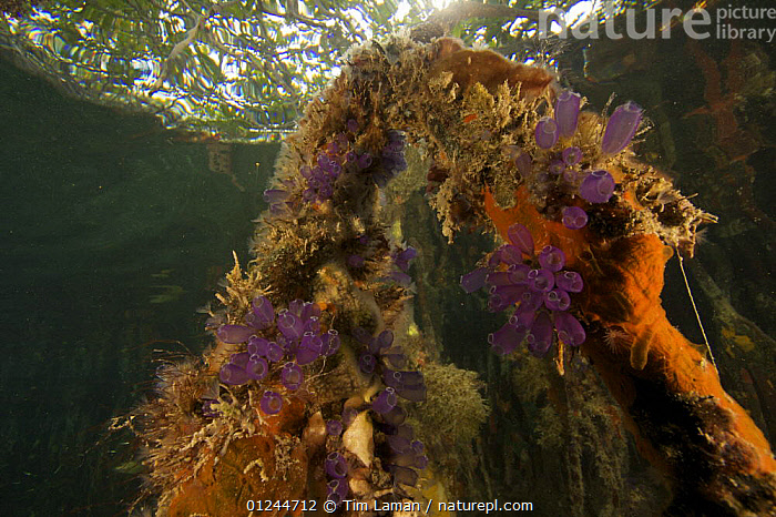 Sponges, tunicates and other invertebrates growing on the roots of Red Mangrove trees {Rhizophora mangle} in the Belize Cays, Tunicate Cove, Belize., CARIBBEAN,CENTRAL AMERICA,DICOTYLEDONS,LOW ANGLE SHOT,MANGROVE,MARINE,PLANTS,RED,RHIZOPHORACEAE,SPONGES,TROPICAL,TUNICATES,UNDERWATER,West Indies, Tim Laman