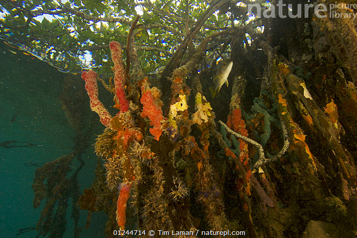 Snapper fish {Lutjanidae}, sponges, tunicates and other invertebrates amongst the roots of Red Mangrove trees {Rhizophora mangle} in the Belize Cays, Tunicate Cove, Belize., CARIBBEAN,CENTRAL AMERICA,COASTS,FISH,HABITAT,INVERTEBRATES,LOW ANGLE SHOT,MANGROVE,MANGROVES,MANGROVE SWAMPS,MARINE,SPONGES,TROPICAL,TUNICATES,UNDERWATER,West Indies, Tim Laman