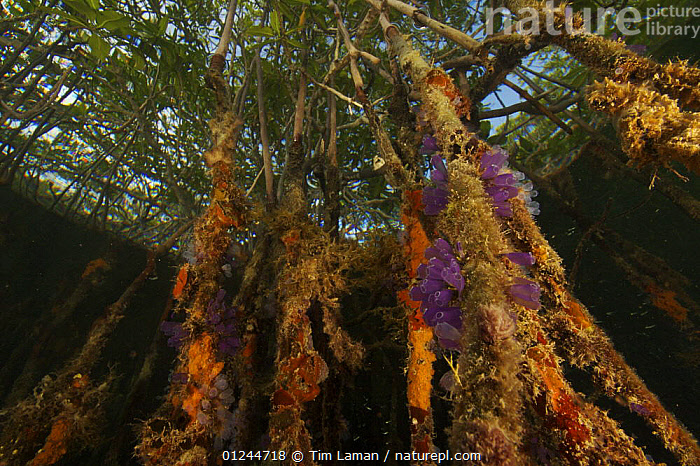 Sponges, tunicates and other invertebrates amongst the roots of Red Mangrove trees {Rhizophora mangle} in the Belize Cays, Tunicate Cove, Belize., CARIBBEAN,CENTRAL AMERICA,COASTS,DICOTYLEDONS,HABITAT,INVERTEBRATES,LOW ANGLE SHOT,MANGROVE,MANGROVES,MANGROVE SWAMPS,MARINE,PLANTS,RHIZOPHORACEAE,SPONGES,TROPICAL,TUNICATES,UNDERWATER,West Indies,Catalogue1, Tim Laman