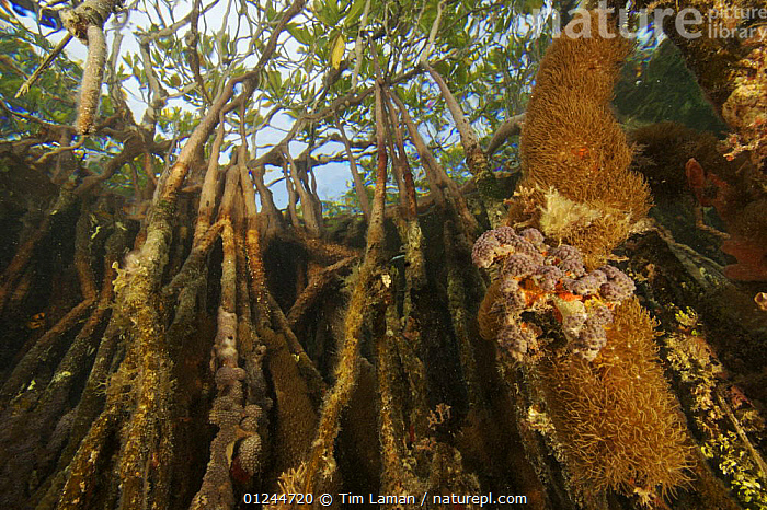 Rich invertebrate life growing underwater on Red mangrove roots {Rhizophora mangle} in the Belize Cays, Tunicate Cove, Belize., CARIBBEAN,CENTRAL AMERICA,COASTS,DICOTYLEDONS,HABITAT,INVERTEBRATES,MANGROVE,MANGROVES,MANGROVE SWAMPS,MARINE,PLANTS,RHIZOPHORACEAE,SPONGES,TROPICAL,UNDERWATER,West Indies, Tim Laman