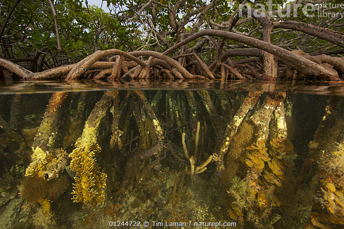 Split level of roots of Red mangrove {Rhizophora mangle} supporting rich invertebrate life in the Belize Cays, Tunicate Cove, Belize., CARIBBEAN,CENTRAL AMERICA,COASTS,DICOTYLEDONS,HABITAT,INVERTEBRATES,MANGROVE,MANGROVES,MANGROVE SWAMPS,MARINE,PLANTS,RHIZOPHORACEAE,SPLIT LEVEL,TROPICAL,UNDERWATER,West Indies, Tim Laman
