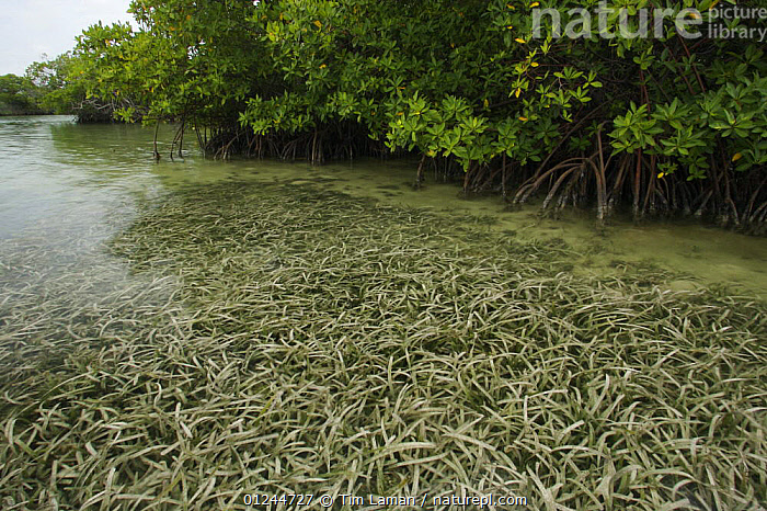 Seagrass habitat adjoining Red Mangroves at the edge of a small mangrove island, Belize Cays, Belize., CARIBBEAN,CENTRAL AMERICA,COASTS,LANDSCAPES,MANGROVE,MANGROVES,MANGROVE SWAMPS,PLANTS,RHIZOPHORA,SEA GRASS,TROPICAL,West Indies, Tim Laman