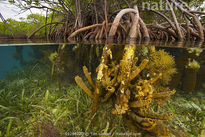 Rich invertebrate life including corals, tunicates and sponges, cover the underwater portions of Red mangrove roots {Rhizophora mangle} on offshore mangrove island, Tunicate Cove, Belize., BIODIVERSITY,CARIBBEAN,CENTRAL AMERICA,COASTS,HABITAT,INVERTEBRATES,MANGROVE,MANGROVES,MANGROVE SWAMPS,MARINE,SEAGRASS,SEA GRASS,SPLIT LEVEL,TROPICAL,UNDERWATER,West Indies, Tim Laman