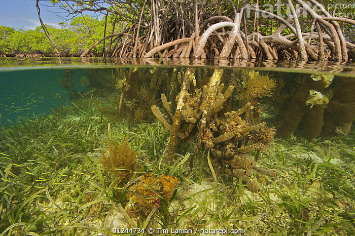 Split level of rich invertebrate life including corals, tunicates and sponges cover the underwater portions of Red mangrove roots {Rhizophora mangle} on offshore mangrove island, Tunicate Cove, Belize., CARIBBEAN,CENTRAL AMERICA,COASTS,DICOTYLEDONS,HABITAT,INVERTEBRATES,MANGROVE,MANGROVES,MANGROVE SWAMPS,MARINE,PLANTS,RHIZOPHORACEAE,SPLIT LEVEL,TROPICAL,UNDERWATER,West Indies, Tim Laman