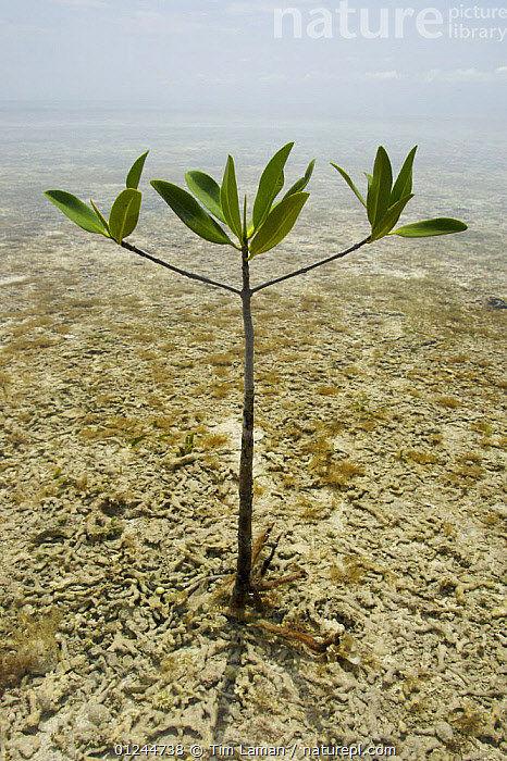 Individual Red mangrove tree {Rhizophora mangle} getting established in the shallows of mangrove lagoon, Tunicate Cove, Belize., CARIBBEAN,CENTRAL AMERICA,COASTS,DICOTYLEDONS,GROWTH,MANGROVE,MANGROVES,MANGROVE SWAMPS,PLANTS,RHIZOPHORACEAE,VERTICAL,West Indies,Concepts, Tim Laman